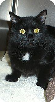 Domestic Mediumhair Cat for adoption in Pueblo West, Colorado - Luna