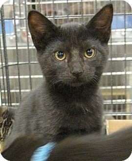 Domestic Shorthair Kitten for adoption in San Leandro, California - Chibs