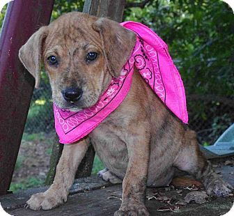 Boxer/Labrador Retriever Mix Puppy for adoption in Cranford, New Jersey - Lucy