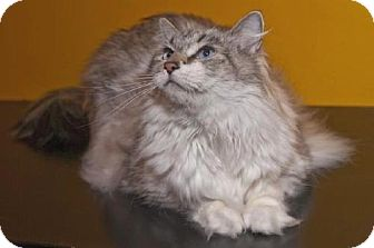 Maine Coon Cat for adoption in Oakland, California - Boston