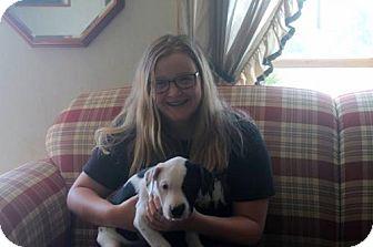 Australian Shepherd/American Bulldog Mix Puppy for adoption in Northville, Michigan - G15-George (Jetson)ADOPTED