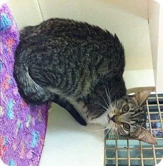 Domestic Shorthair Cat for adoption in Riverside, California - Winnie