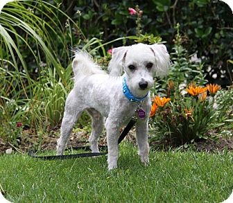 Poodle (Miniature) Mix Dog for adoption in Newport Beach, California - WALDEN