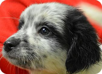 Australian Cattle Dog Mix Puppy for adoption in Erwin, Tennessee - Dasher