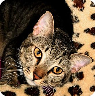 Domestic Shorthair Cat for adoption in Bradenton, Florida - Espresso
