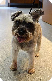 Schnauzer (Standard) Dog for adoption in Michigan City, Indiana - Ralph