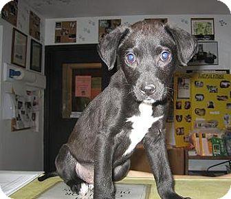 Labrador Retriever Mix Puppy for adoption in Kankakee, Illinois - Bashful