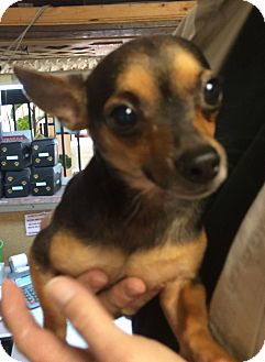Chihuahua Dog for adoption in Metairie, Louisiana - SEBASTIAN