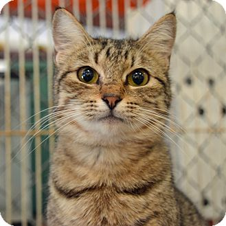 Domestic Shorthair Cat for adoption in Brooksville, Florida - 10310074