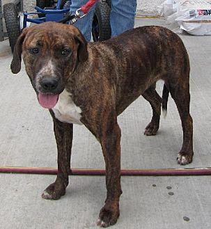 Mountain Cur/Pit Bull Terrier Mix Dog for adoption in Weatherford, Oklahoma - Brindy