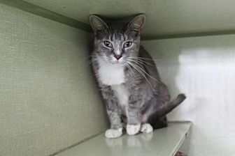 Domestic Shorthair Cat for adoption in Denver, Colorado - Errin Pampa