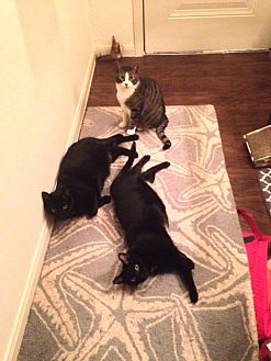 Domestic Mediumhair Cat for adoption in Lewisville, Texas - Godiva and Guinness