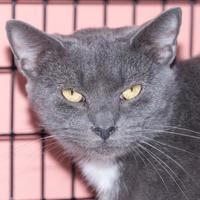 Domestic Shorthair/Domestic Shorthair Mix Cat for adoption in Fernandina Beach, Florida - Phlox