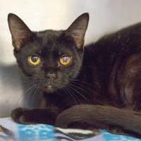 Adopt A Pet :: Savannah - Independence, MO