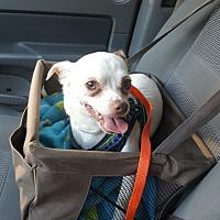 Adopt A Pet :: Chico - Raritan, NJ