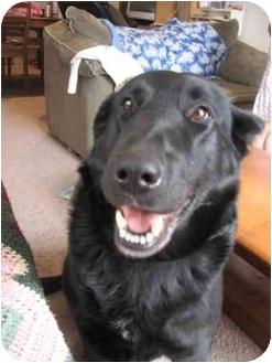 Labrador Retriever/Retriever (Unknown Type) Mix Dog for adoption in Blooming Prairie, Minnesota - Otis