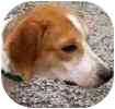 Beagle Mix Dog for adoption in Hamilton, Ontario - Evan