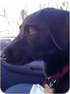 Labrador Retriever Mix Dog for adoption in San Diego, California - SHIRLEY