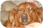 Golden Retriever Dog for adoption in cedar grove, Indiana - chloe