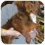 Photo 3 - Dachshund Dog for adoption in Humble, Texas - Peanut