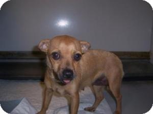 Chihuahua Mix Dog for adoption in Olathe, Kansas - Honey