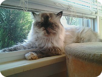 Himalayan Cat for adoption in New Baltimore, Michigan - Bailey