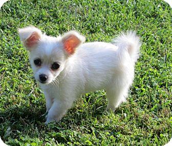 Chihuahua/Pomeranian Mix Puppy for adoption in Santa Ana, California - Bunny