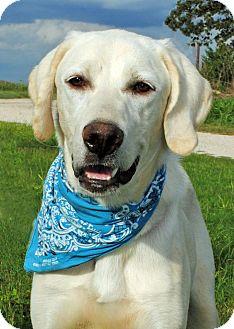 Great Pyrenees/Labrador Retriever Mix Dog for adoption in Austin, Texas - Magnum