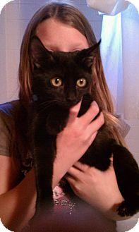 Bombay Kitten for adoption in Scottsdale, Arizona - Munchkin - courtesy post