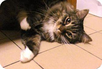 Domestic Shorthair Cat for adoption in Jackson, Michigan - Marcie