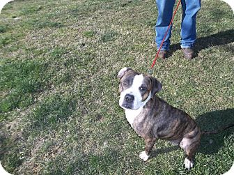 Pit Bull Terrier/Boxer Mix Dog for adoption in Arden, North Carolina - Missy
