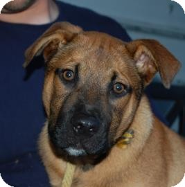 German Shepherd Dog/Mastiff Mix Puppy for adoption in Brooklyn, New York - Earl