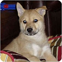 Adopt A Pet :: Jindo Puppies (10 weeks old)! - Marysville, CA