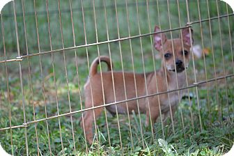 Chihuahua/Chihuahua Mix Puppy for adoption in Wilminton, Delaware - Diesel