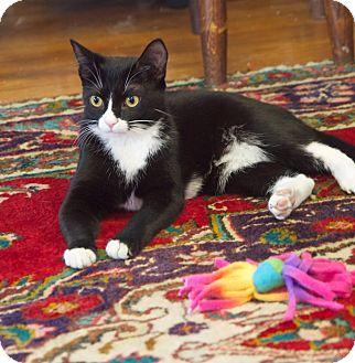 Domestic Shorthair Cat for adoption in Homewood, Alabama - Velvet
