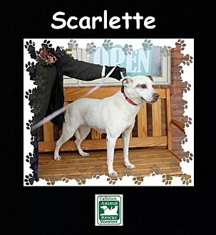 Labrador Retriever/Boxer Mix Dog for adoption in Fallston, Maryland - Scarlette