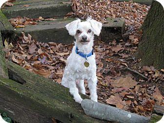 Maltese/Poodle (Miniature) Mix Dog for adoption in Winder, Georgia - Milton