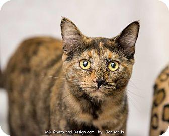 Domestic Shorthair Cat for adoption in Fountain Hills, Arizona - Cactus