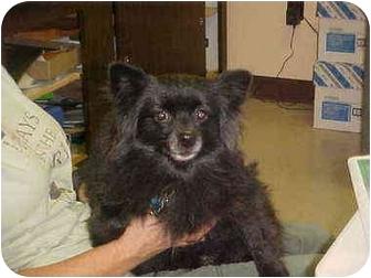 Pomeranian Dog for adoption in Burnsville, North Carolina - Ebony