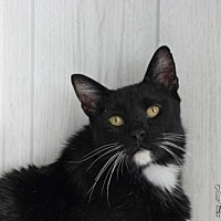 Domestic Shorthair Cat for adoption in Troy, Illinois - Watson Fostered (Stephanie)