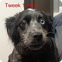 Adopt A Pet :: Tweek - Greencastle, NC