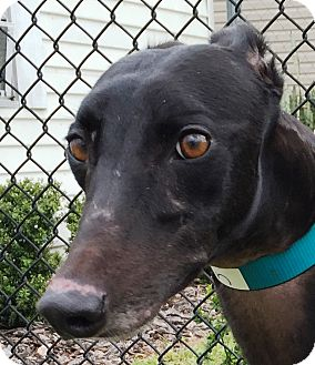 Greyhound Dog for adoption in Longwood, Florida - Fuzzy's Ann Curry