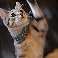 Domestic Shorthair Cat for adoption in Mebane, North Carolina - Roadie