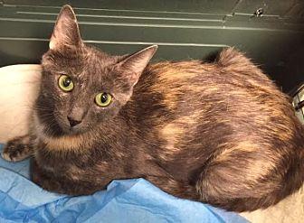 Calico Cat for adoption in Smyrna, Georgia - Jade