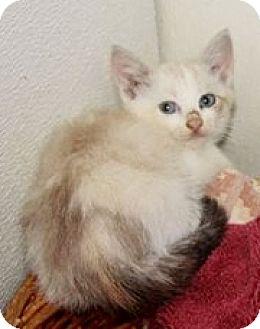 Siamese Kitten for adoption in Grinnell, Iowa - Billy