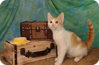 Domestic Shorthair Kitten for adoption in mishawaka, Indiana - Cedar
