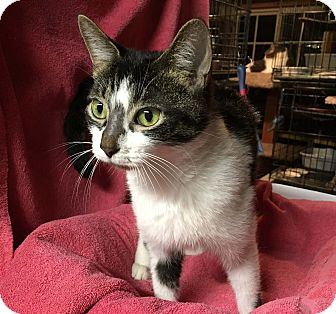 Domestic Shorthair Kitten for adoption in Lombard, Illinois - Dory