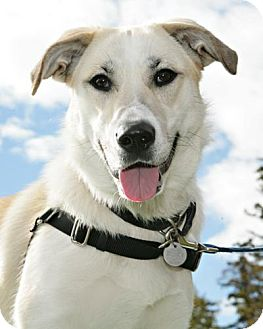 Shepherd (Unknown Type)/Great Pyrenees Mix Dog for adoption in Bellingham, Washington - Aveva