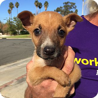 Chihuahua Mix Puppy for adoption in Corona, California - Baby Noel, Puppy Waits for You