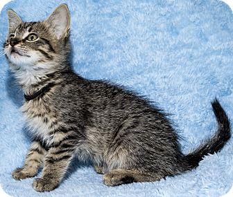 Domestic Mediumhair Kitten for adoption in Mt. Prospect, Illinois - Alley